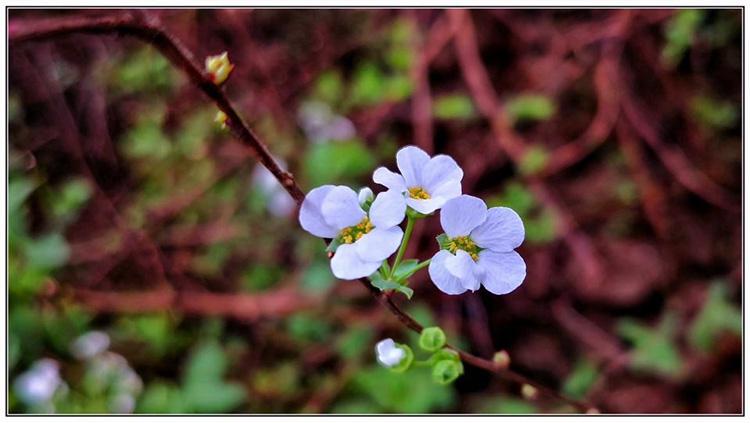 校园花.jpg